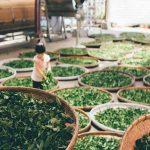ベトナムのお茶栽培の様子