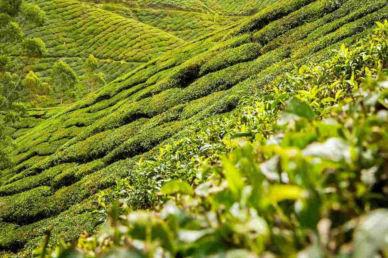 ベトナムの茶畑